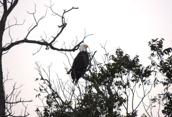 Bald eagle in Llano County