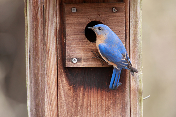 Bluebirds home sweet home pictures.