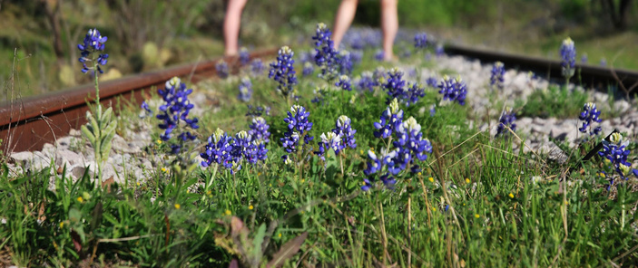 Bluebonnets in train tracks
