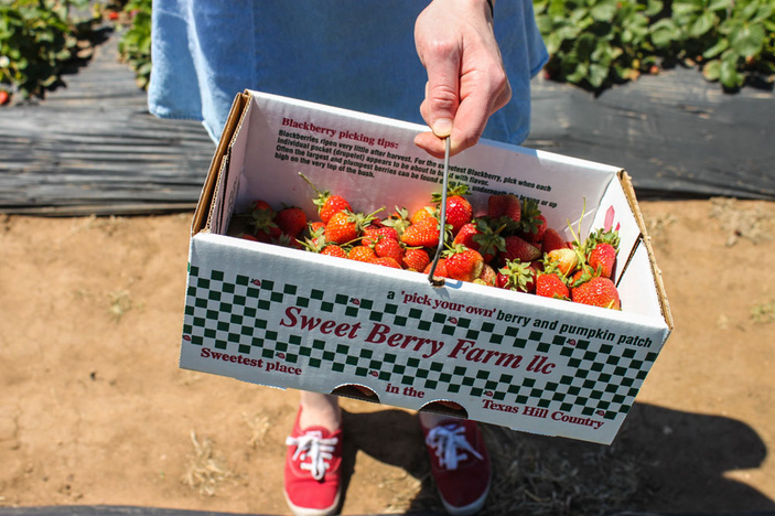 Grab all you can during spring harvests at Sweet Berry Farm, MARBLE FALLS