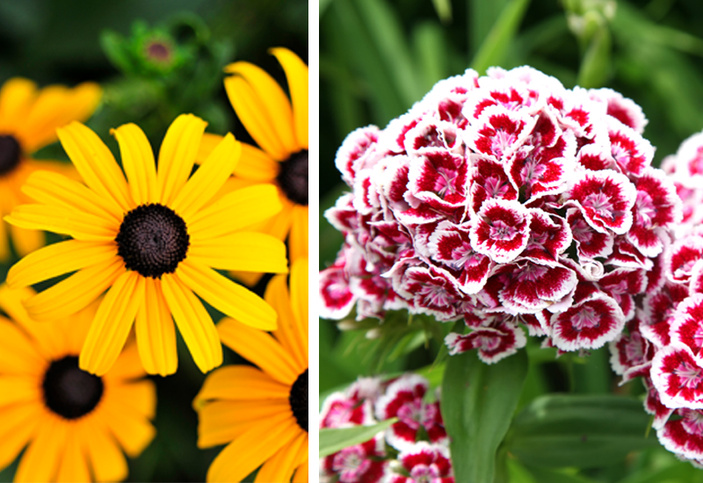 Black-eyed Susan and Sweet William