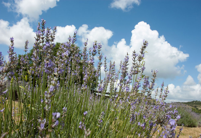 Blanco County lavender farms