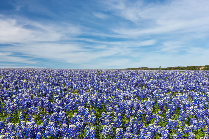 Bluebonnets at Muleshoe Bend Recreation Area
