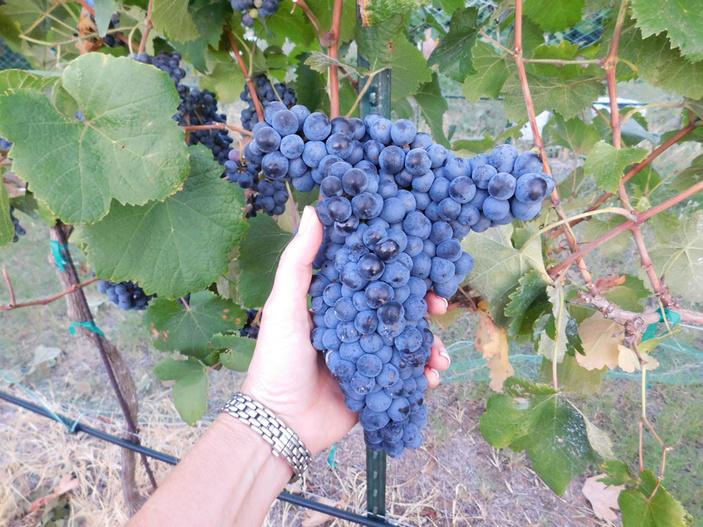 Grape harvest at Flat Creek Estate Winery