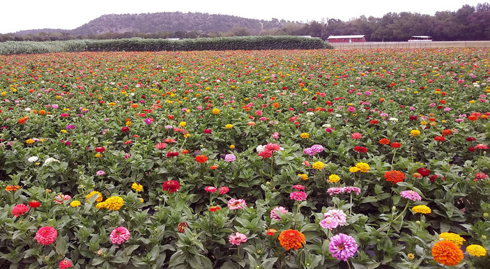 Zinnia fields at Sweet Berry Farm in Marble Falls