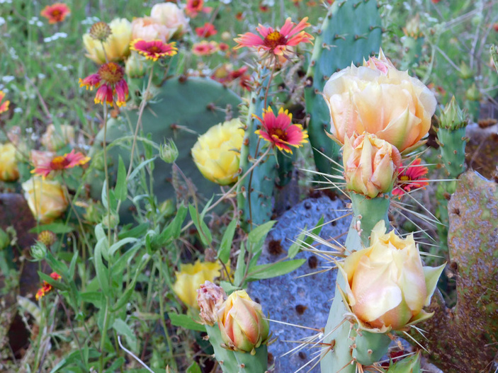 Texas prickly pear cactus