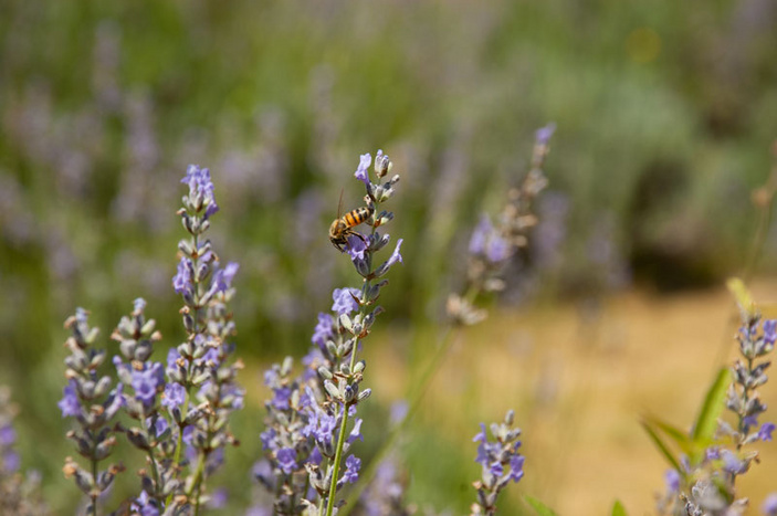 Lavender and other plants as bug repellents