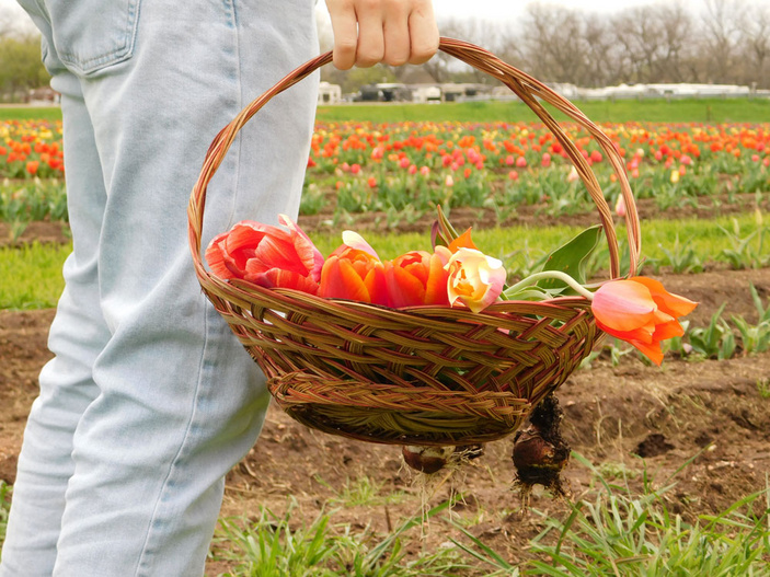 Sweet Berry Farm tulips
