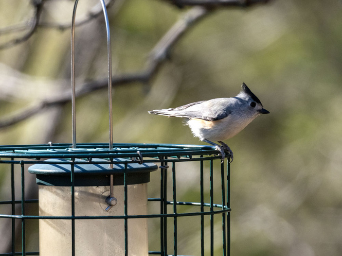Black-crested titmouse at the Inks Dam National Fish Hatchery bird blind