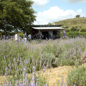 Blanco Lavender Festival