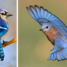 Blue jay and bluebird