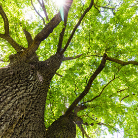 Texas oak wilt