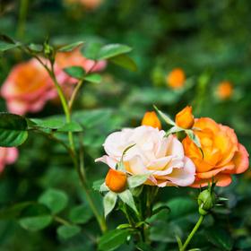 Fertilizing roses