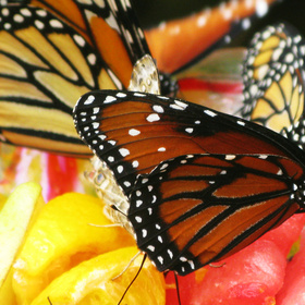 Monarchs and fruit