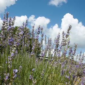Blanco County lavender farms