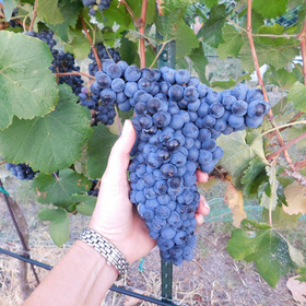 Grape harvest at Flat Creek Estate Winery
