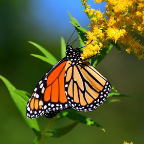 Monarch butterfly on goldenrod