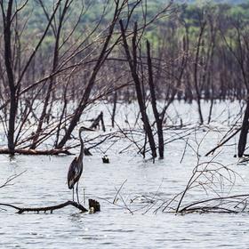Great blue heron on Lake Buchanan