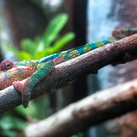 Chameleon at the Science Mill