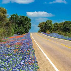 Bluebonnets along Texas 16