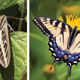 Moth versus Butterfly