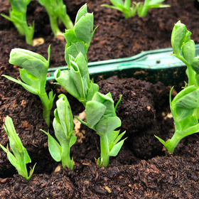 Planting out pea seedlings