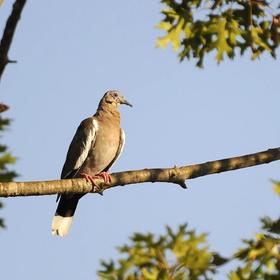 Dove season in Texas