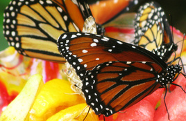 IN THE GARDEN: Create a Butterfly Diner in Your Backyard with Fruit