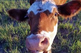 Feed a cow a banana at Nomad Ranch Pumpkin Patch in Bertram