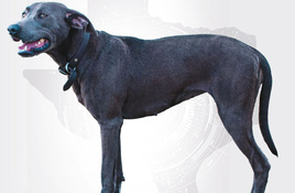 Texas state dog Blue Lacy born in Burnet County
