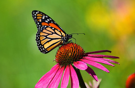 IN THE GARDEN: Mulch, monarchs, and May duties