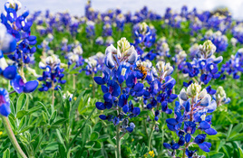 Celebrate spring with bluebonnet road trip