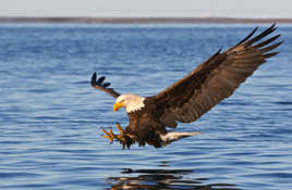 Bald eagles on their way to Highland Lakes