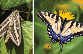 IN THE GARDEN: Moth or butterfly? Crepe myrtle or crepe murder?