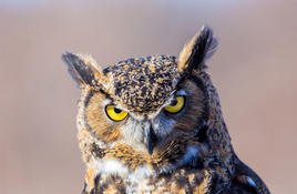 VIRTUAL HIGHLAND LAKES: Great horned owl