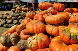 Pumpkin picking at Sweet Berry Farm