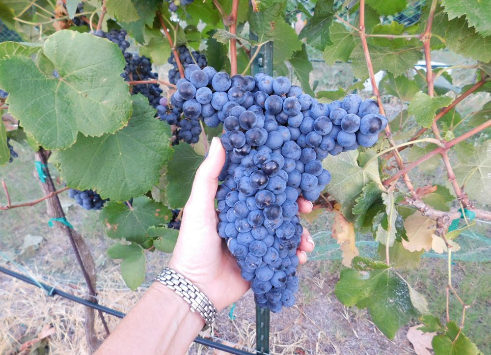 Snip, snip, hooray! It's grape harvest time