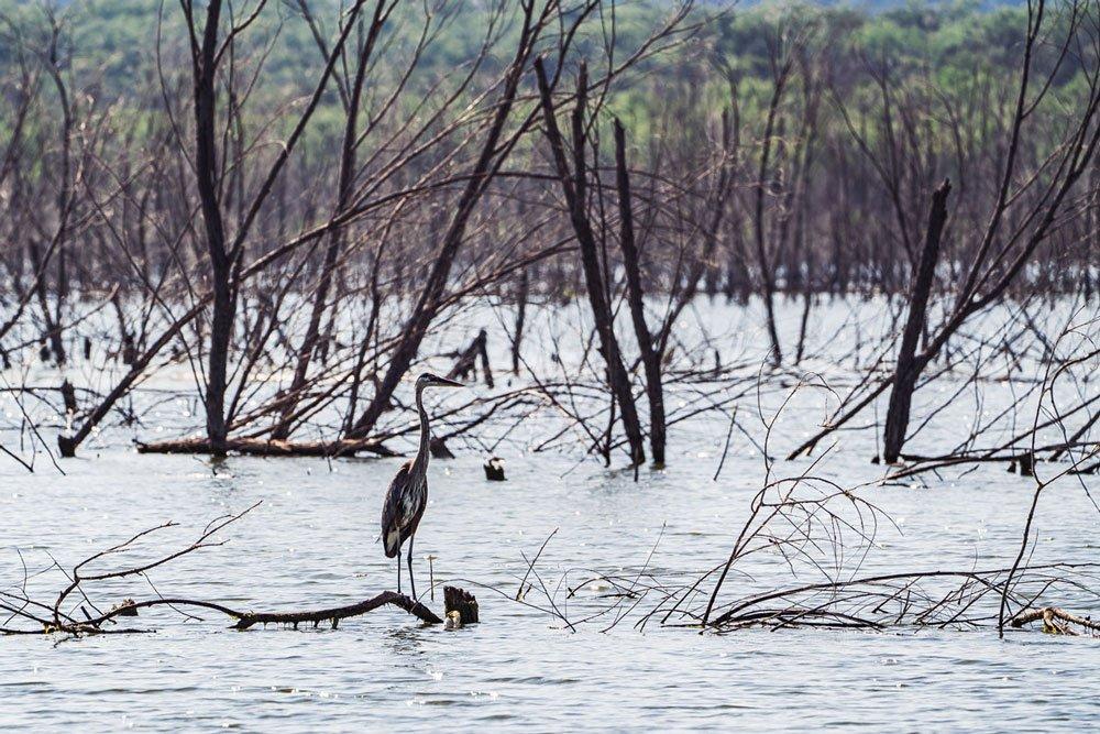 Virtual Highland Lakes: Great blue heron