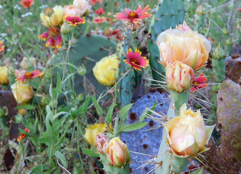 Texas prickly pear cactus: Beautiful and tasty