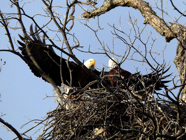 Wyoming Sublette County Bald Eagle Calling From Snag By Elizabeth Boehm