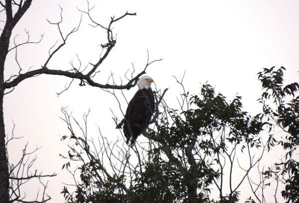 An Im Bald Eagle Was Spotted Boerne Texas