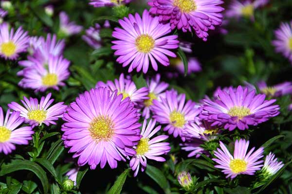 Asters are native to Texas and one of the plants being celebrated during Native Plant Week. The local chapter of the Native Plant Society of Texas will be ...