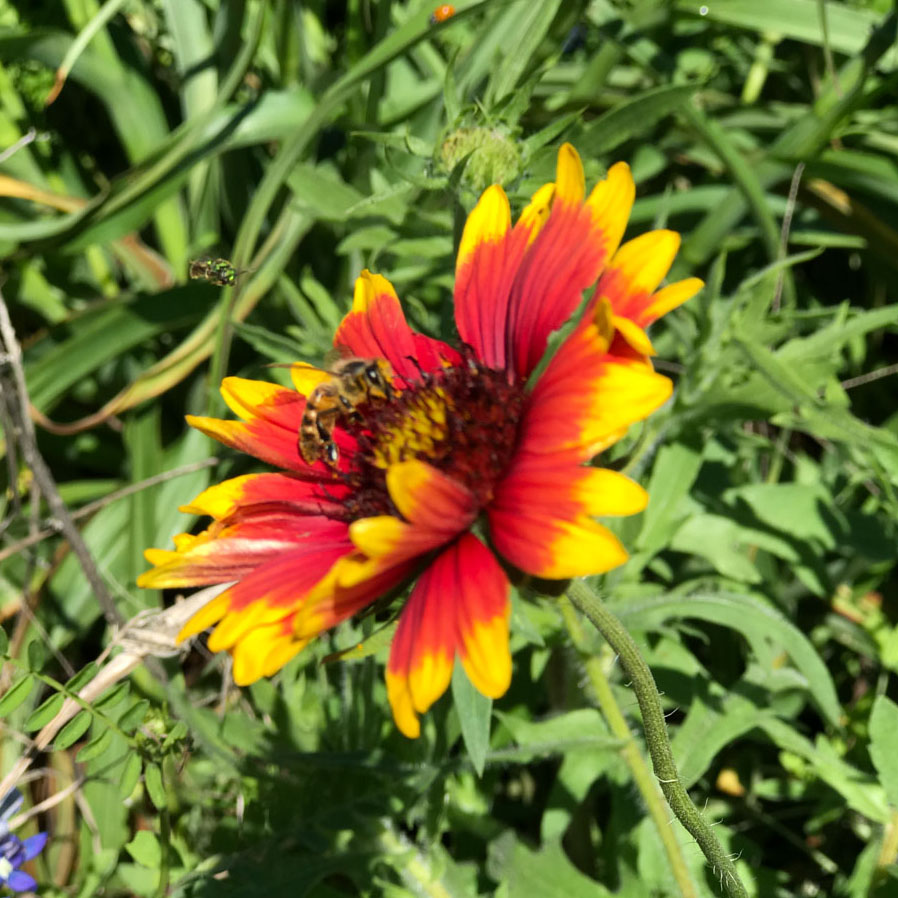 Texas hill country wildflower identification guide indian blanket mightylinksfo