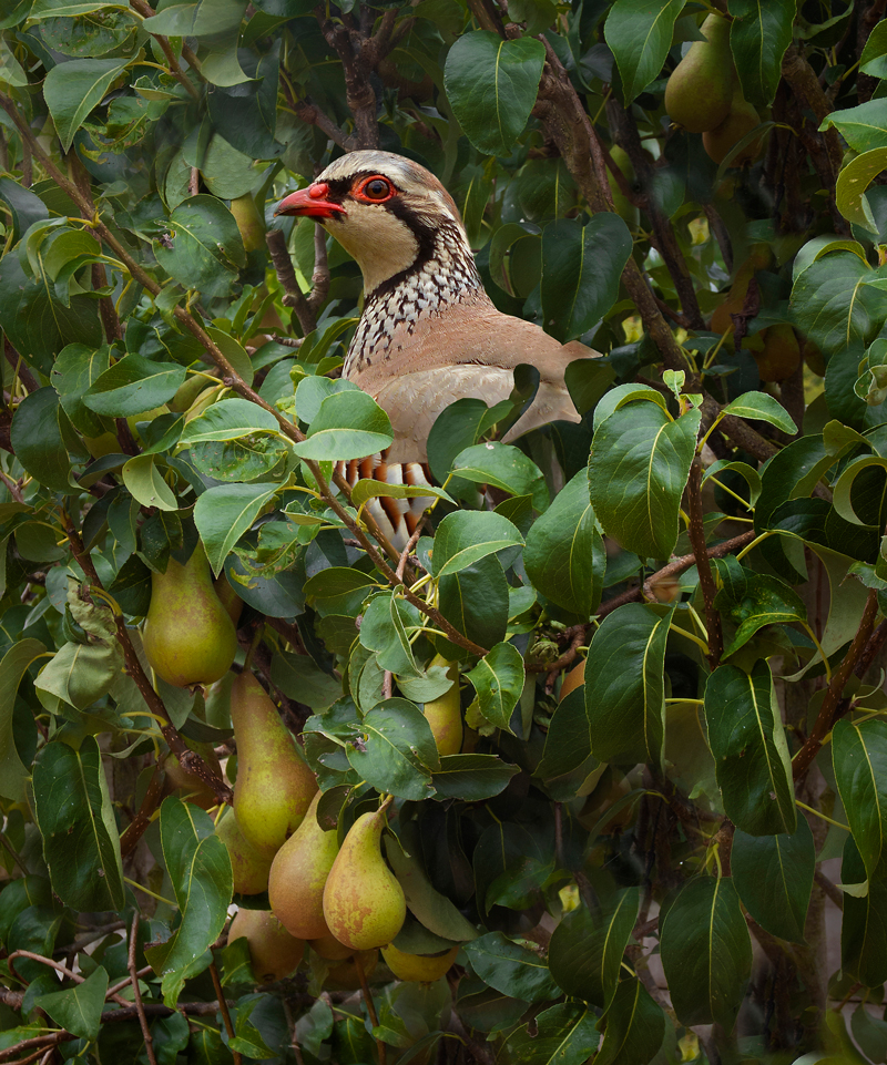 Partridge in a pear tree - Is '12 Days Of Christmas' A Coded Message?