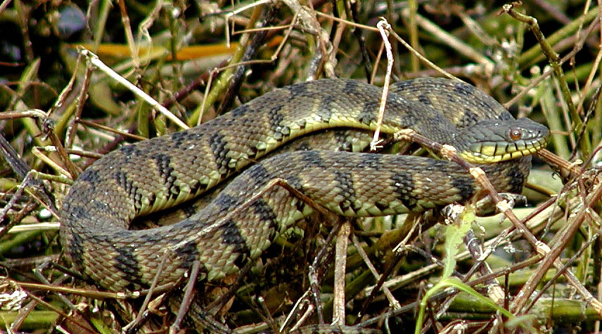 Snakes of the Highland Lakes